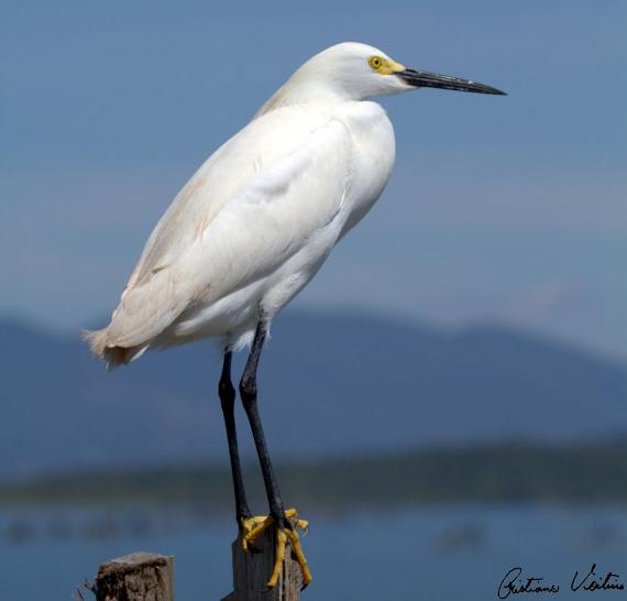 Garça-branca-pequena em Laguna - SC
