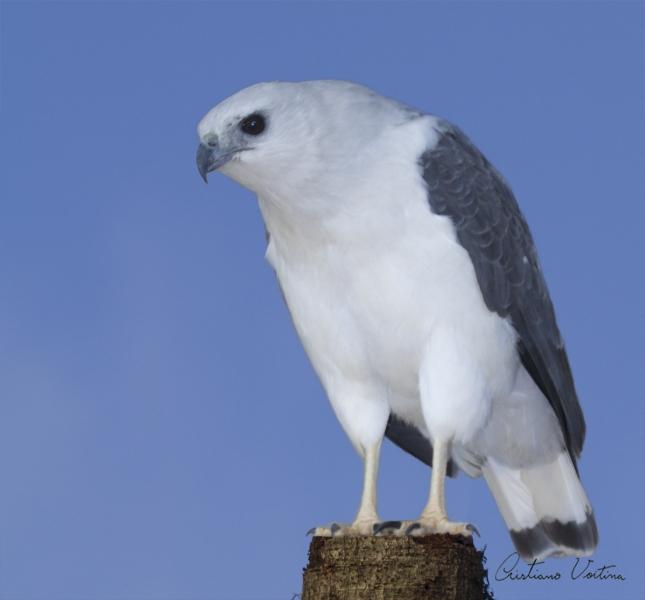 Gavião-pombo-pequeno em  - SC