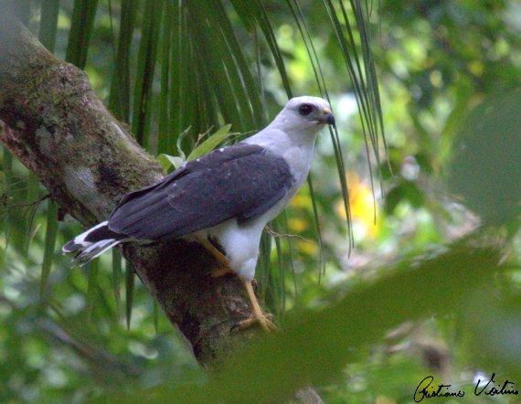 Gavião-pombo-pequeno em Joinville - SC