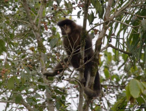 Macaco-prego em Itapoa - SC