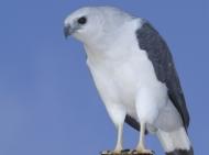 Gavião-pombo-pequeno - Cristiano Voitina