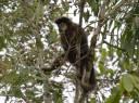 Macaco-prego - Cristiano Voitina